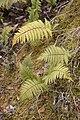 Arthropteris orientalis Cilaos 1.jpg