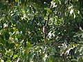 Asian Barred Owlet - Glaucidium cuculoides - P1080005.jpg