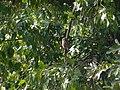 Asian Barred Owlet - Glaucidium cuculoides - P1080005.jpg