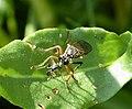 Asilidae , Robberfly with prey. Dioctria rufipes (35418803722).jpg