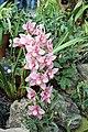 Asparagales - Cymbidium 'Gaddon Loch Vieux' - 1.jpg