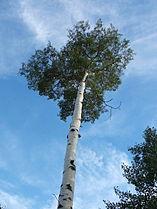 Aspen (Populus tremuloides) 01.jpg