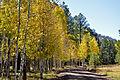Aspen trees line FR418 (3971483277).jpg