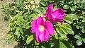 Atlas roslin pl Róża pomarszczona 3941 7793.jpg