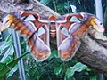 Attacus atlas-botanical-garden-of-bern 7.jpg