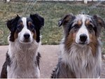 Two Australian Shepherds