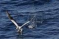Australasian Gannet (36414619612).jpg