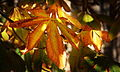 Autumn leaves - yellow 02.JPG