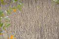 Avicennia marina - Nabq by Hatem Moushir 3.JPG