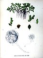 Azolla filiculoides illustration1.jpg