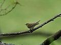 Bøksanger (Phylloscopus sibilatrix).. Wood Warbler.jpg