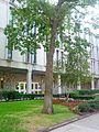 B3 Quercus ilicifolia (Bear Oak).jpg