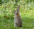 Baby rabbit on the Lookout - Flickr - gailhampshire.jpg