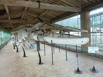 Natural History Museum of the University of Pisa - Whale hall.