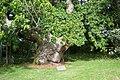 Balmerino Abbey Chestnut tree - geograph.org.uk - 841250.jpg