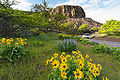 Balsamroot and lupine wildflowers near Tom McCall Preserve on Rowena Crest along the Historic Columbia River Highway in the Columbia River Gorge.jpg