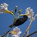 Bananaquit (Black Morph) (4451167200).jpg