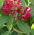 Bananaquit (Coereba flaveola) visiting flowers ... (48348793846).jpg