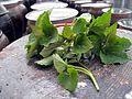 Banga(Agastache rugosa) leaves.jpg