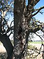 Banksia marginata tree lone trunk IRL.JPG