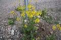 Barbarea vulgaris IM8335 Peltokanankaali C