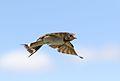 Barn swallow, Hirundo rustica, at Rietvlei Nature Reserve, Gauteng, South Africa (31413946775).jpg