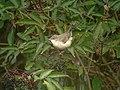 Barred Warbler (Sylvia nisoria) - geograph.org.uk - 1036172.jpg