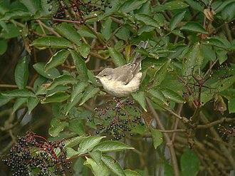 Barred warbler - Immature on migration, England