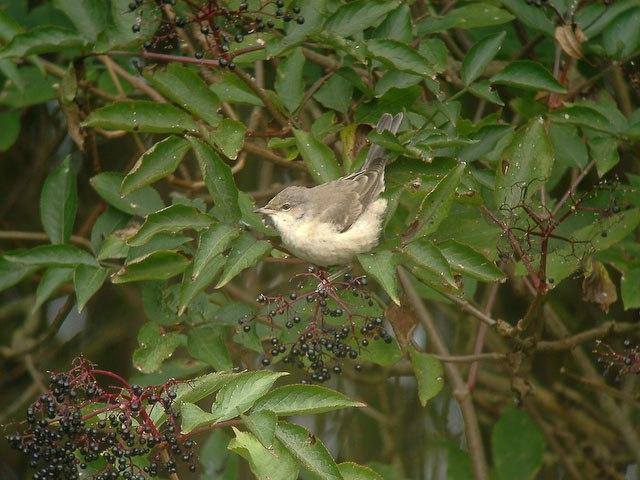 Barred Warbler (Sylvia nisoria) - geograph.org.uk - 1036172
