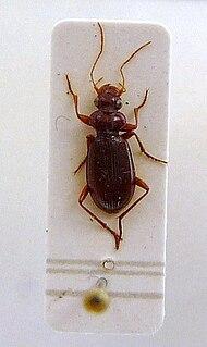 <i>Leistus ferrugineus</i> species of insect