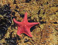 Bat Star (Asterina miniata) 001.jpg