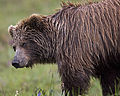 Bear Yearling (5301422950).jpg