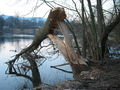 Beaver felled tree.JPG