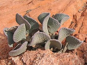 Beavertail cactus 750px.jpg