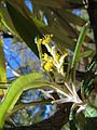 Bedfordia salicina.jpg