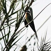 Bee-eater Madagascar.jpg