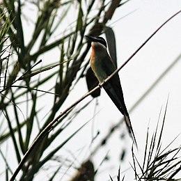 Bee-eater Madagascar