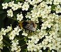Bee (27501922684).jpg