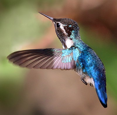 Bee hummingbird (Mellisuga helenae) adult male in flight-cropped.jpg