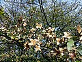 Beech seed cases, Mains House.JPG