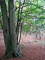 Beech tree in woodland south of Wood's End - geograph.org.uk - 1532720.jpg