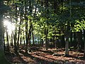 Beech woodland before sunset, Stubby Copse Inclosure, New Forest - geograph.org.uk - 43064.jpg