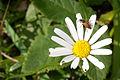 Beetle on flower (8407468049).jpg