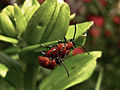 Beetles on a leaf.jpg