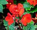 Begonia x tuberhybrida Tubby Red in Botanischer Garten Muenster.jpg