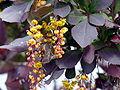Berberis vulgaris var atro-purp. ziedai.JPG