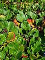 Bergenia cordifolia 2007-06-02 (plant).jpg