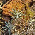 Berkheya carlinopsis magalismontana05.jpg