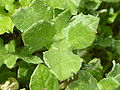 Berkheya radula (Compositae) leaves.JPG