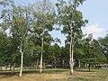Betula pendula - breza 2.jpg